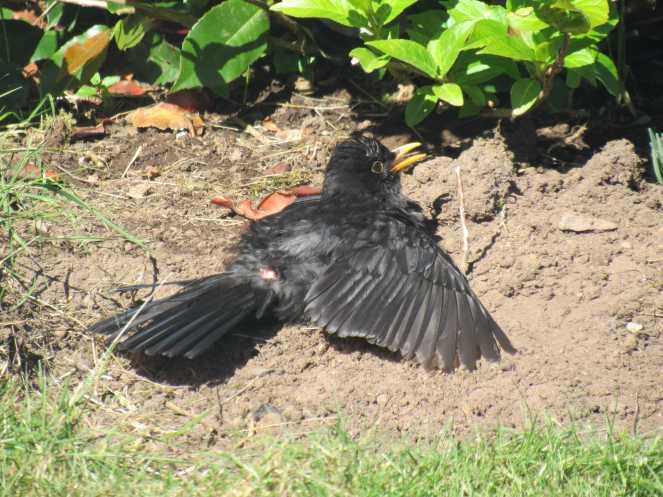 Blacky sunbathing