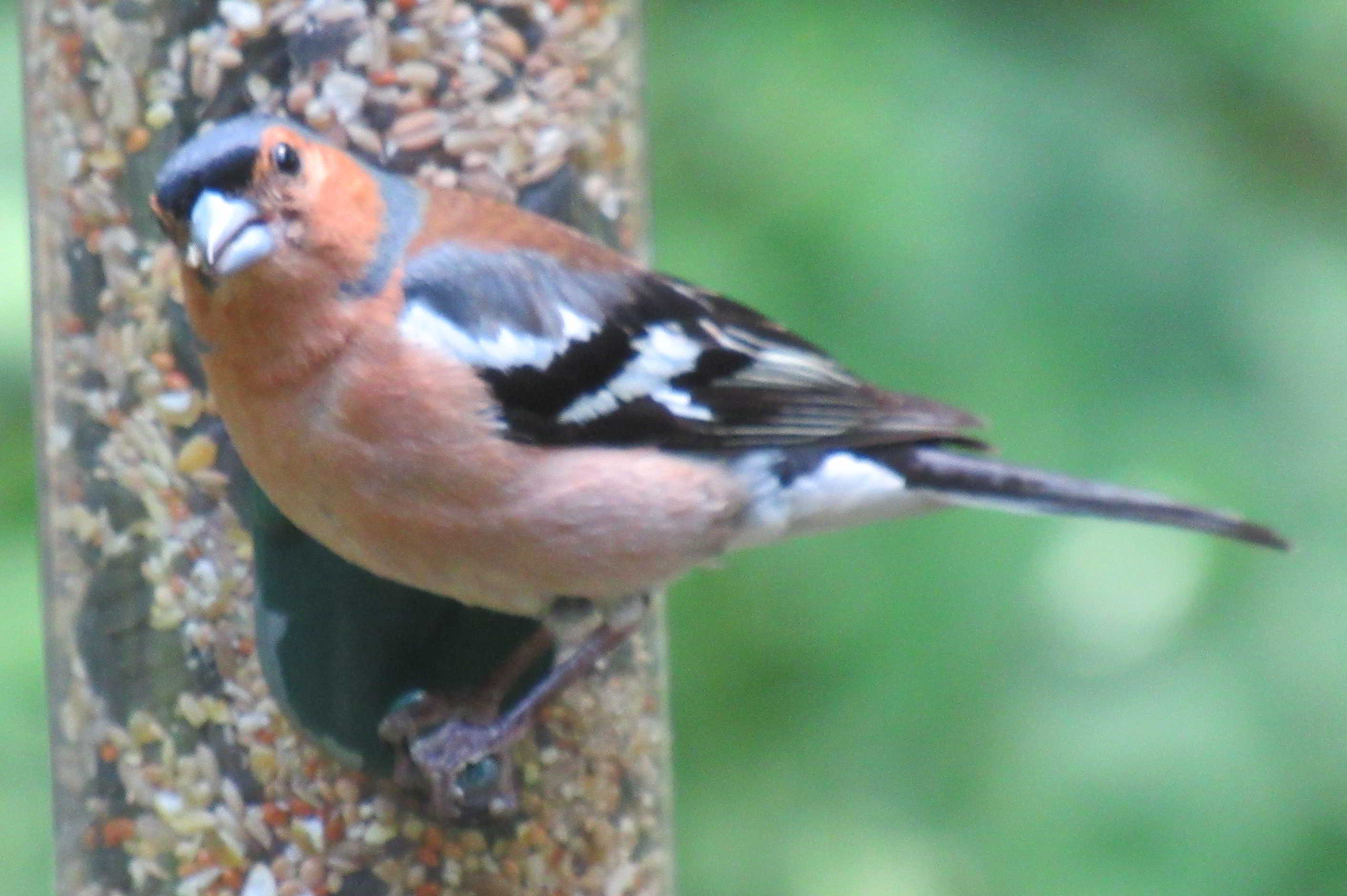 Chaffinch - Loch of the Lowes