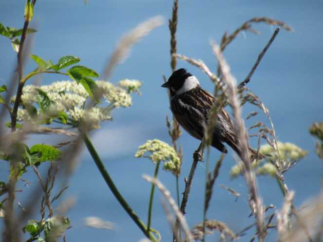 Reed bunting Summer