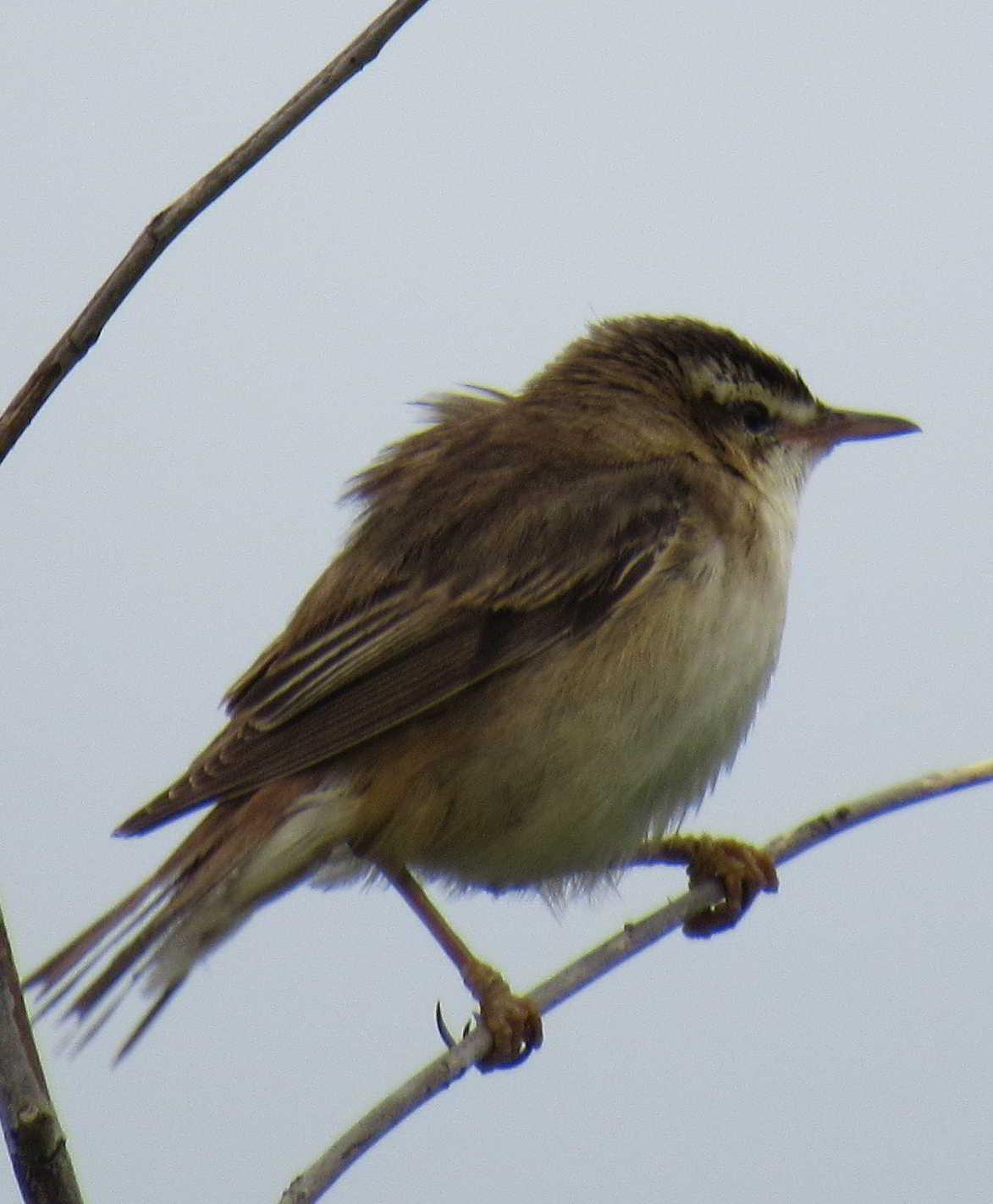 Reed warbler EastHaven