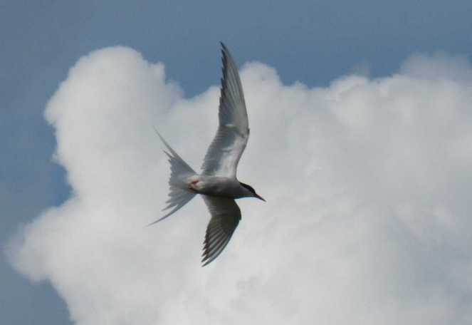 Arctic Tern flying