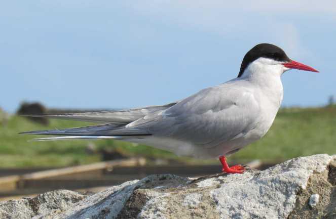Arctic Tern Stood
