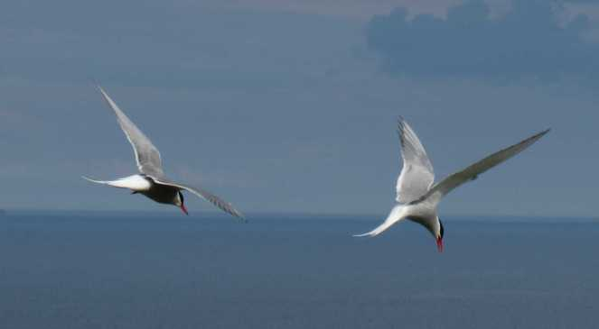 Arctic Terns protecting young