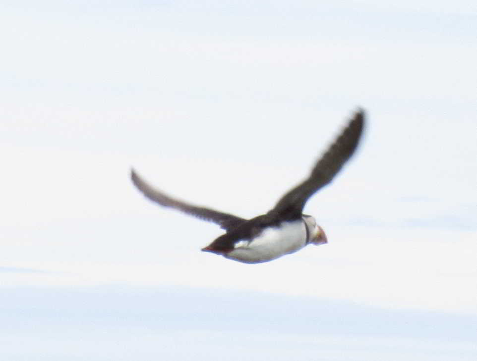 One Puffin flying