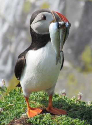 Puffin - these are mine